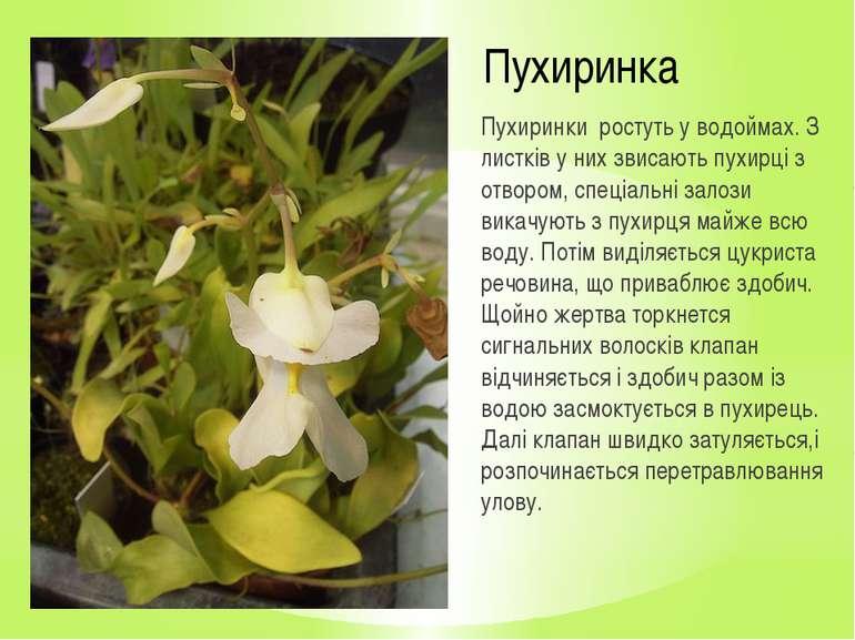 Пухиринка Пухиринки ростуть у водоймах. З листків у них звисають пухирці з от...