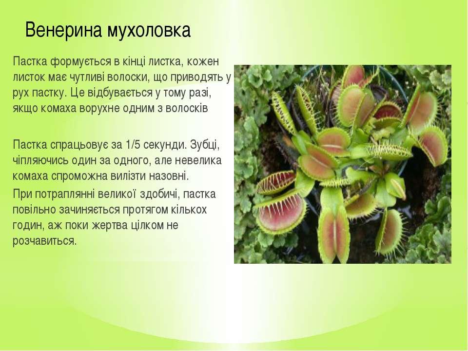Венерина мухоловка Пастка формується в кінці листка, кожен листок має чутливі...