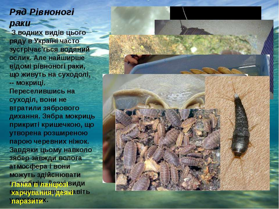 Ряд Рівноногі раки З водних видів цього ряду в Україні часто зустрічає'гься в...