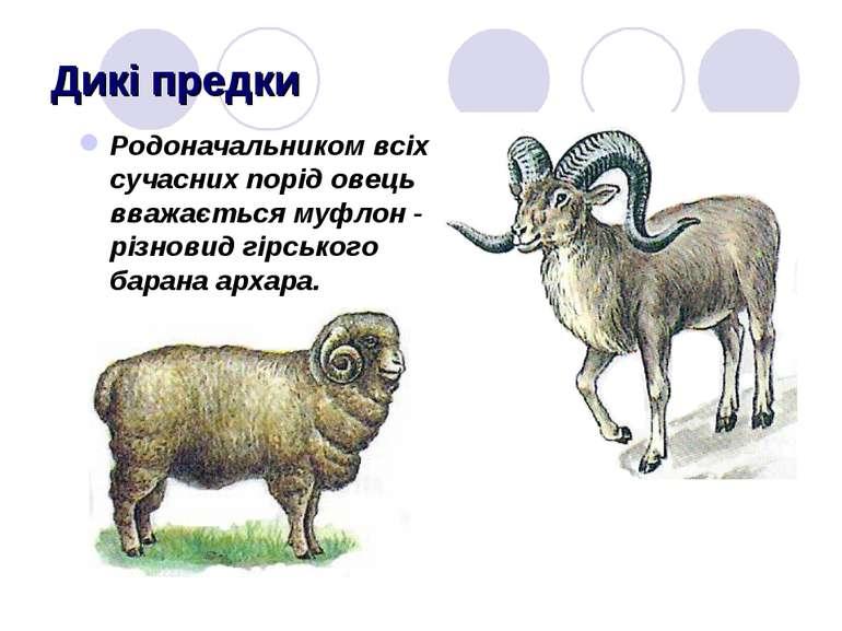 Дикі предки Родоначальником всіх сучасних порід овець вважається муфлон - різ...