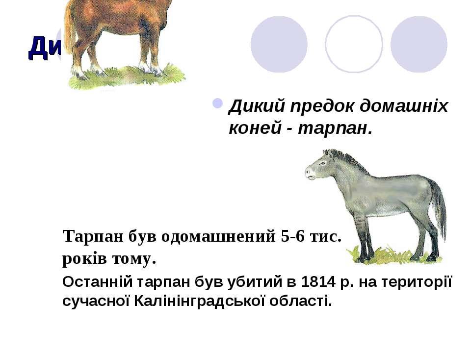 Дикі предки Дикий предок домашніх коней - тарпан. Тарпан був одомашнений 5-6 ...