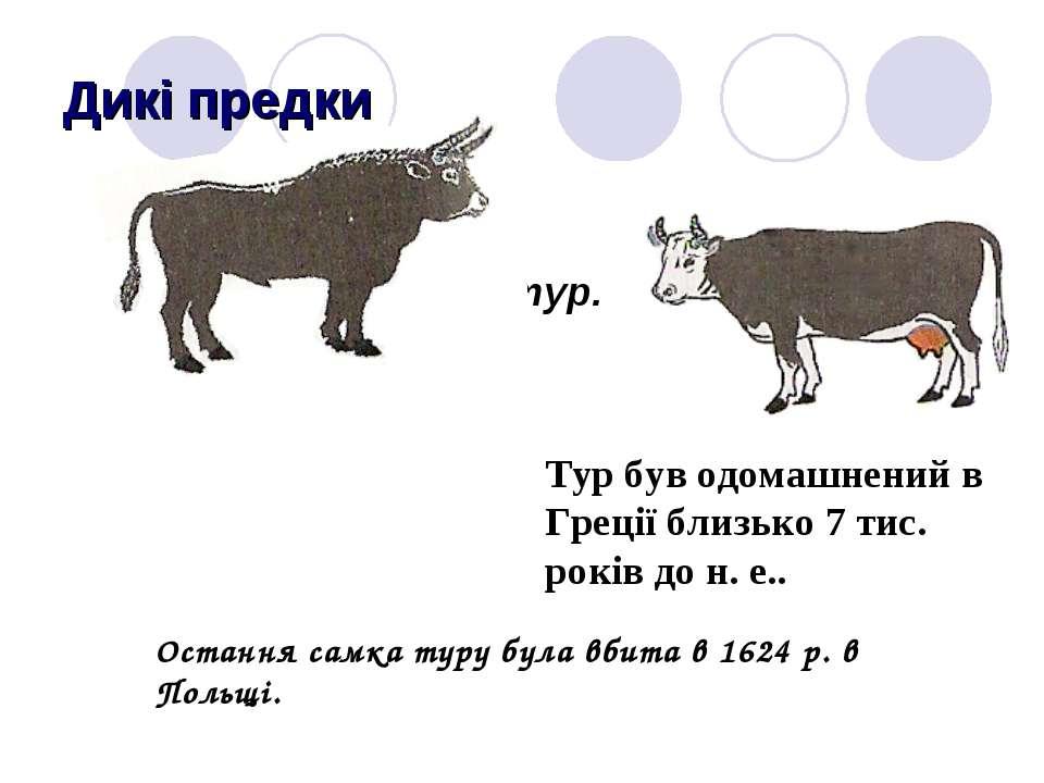 Дикі предки Дикий предок сучасних корів - тур. Тур був одомашнений в Греції б...