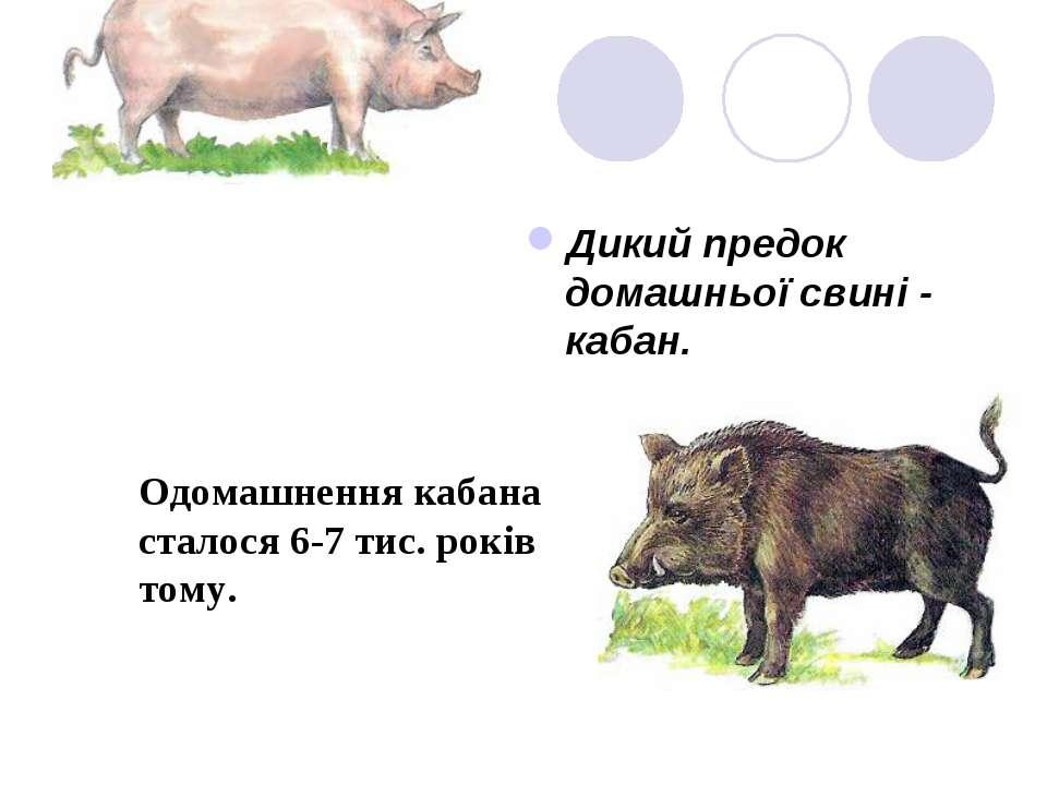 Дикі предки Дикий предок домашньої свині - кабан. Одомашнення кабана сталося ...