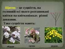 Щиток – це суцвіття, на головній осі якого розташовані квітки на квітконіжках...