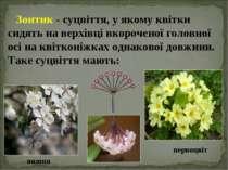 Зонтик - суцвіття, у якому квітки сидять на верхівці вкороченої головної осі ...