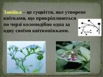 Завійка – це суцвіття, яке утворене квітками, що прикріплюються по черзі коло...