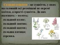 Складні суцвіття – це суцвіття, у яких на головній осі розміщені не окремі кв...