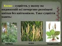 Колос - суцвіття, у якому на видовженій осі почергово розміщені квітки без кв...