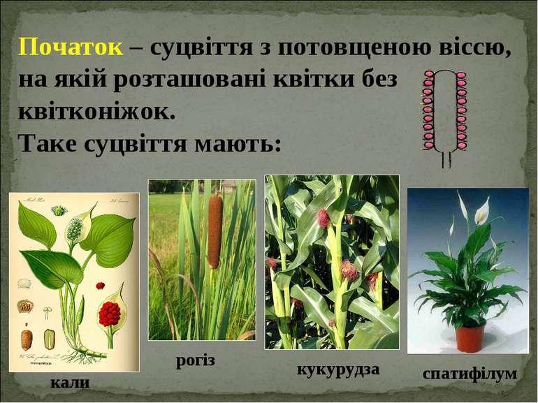 Початок – суцвіття з потовщеною віссю, на якій розташовані квітки без квіткон...