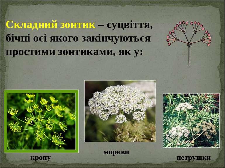 Складний зонтик – суцвіття, бічні осі якого закінчуються простими зонтиками, ...