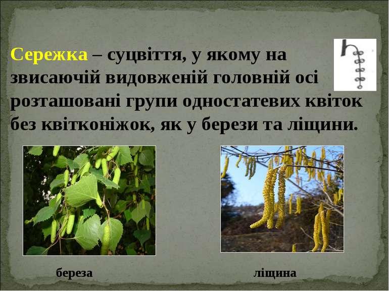 Сережка – суцвіття, у якому на звисаючій видовженій головній осі розташовані ...