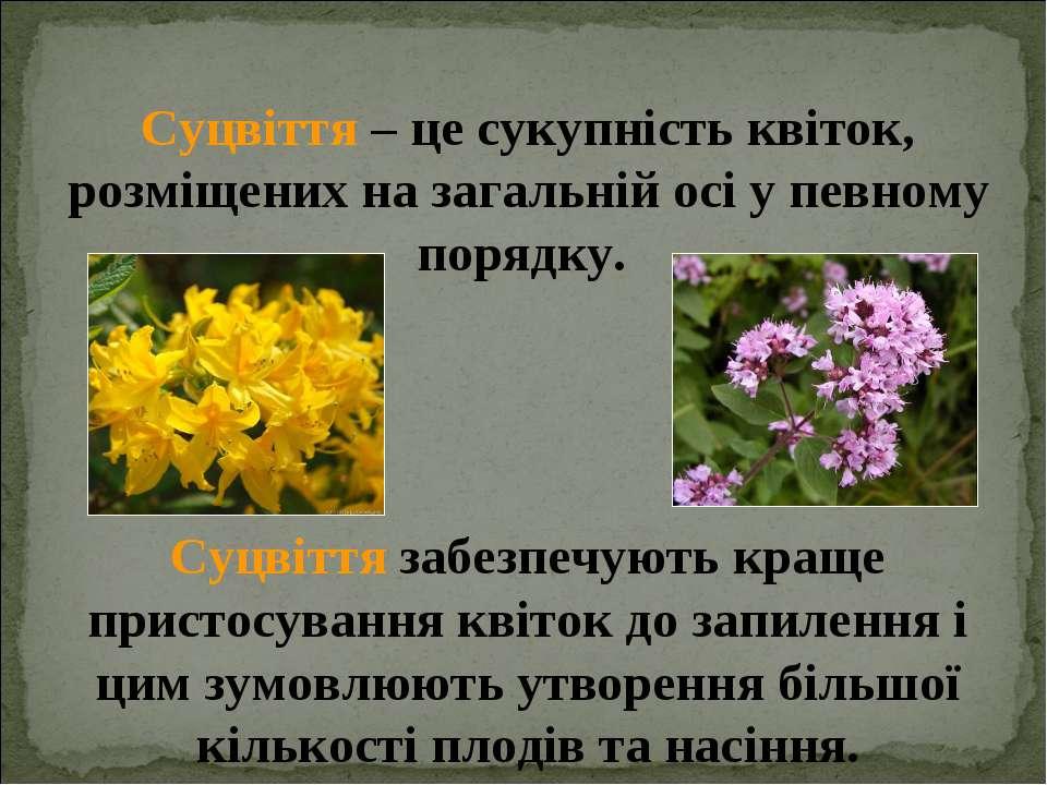 Суцвіття – це сукупність квіток, розміщених на загальній осі у певному порядк...