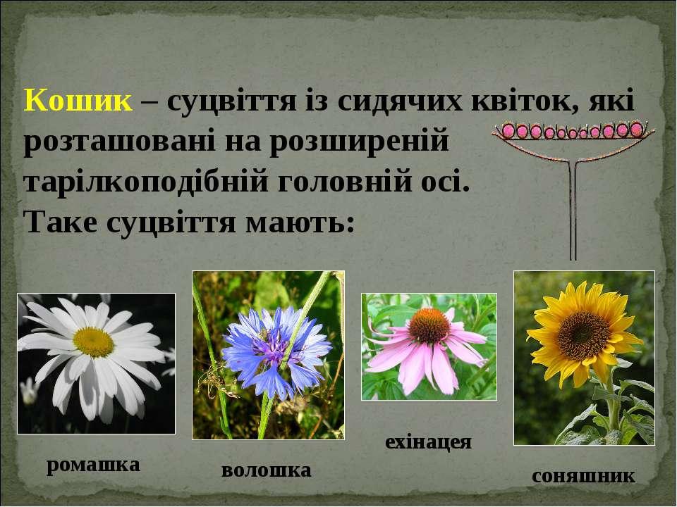 Кошик – суцвіття із сидячих квіток, які розташовані на розширеній тарілкоподі...