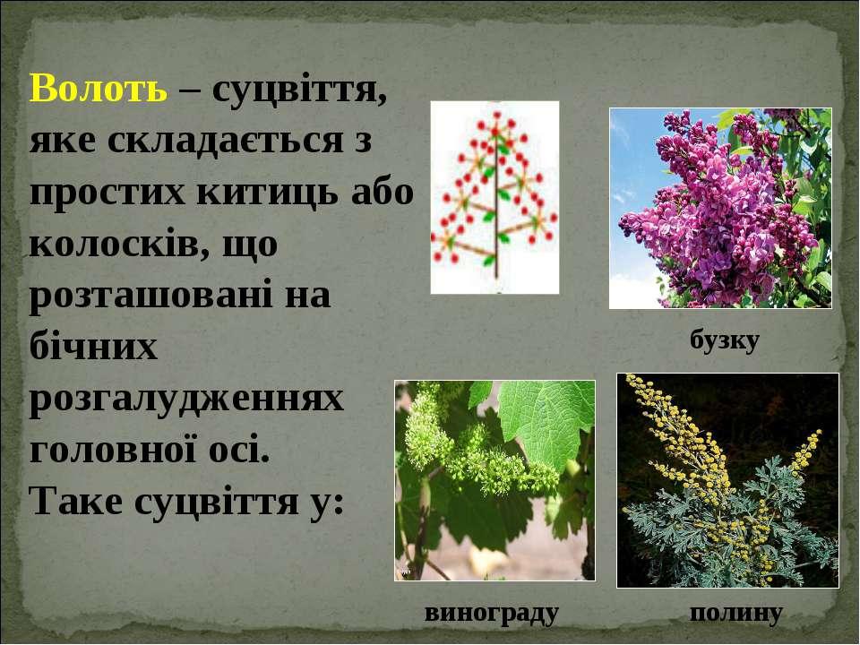 Волоть – суцвіття, яке складається з простих китиць або колосків, що розташов...