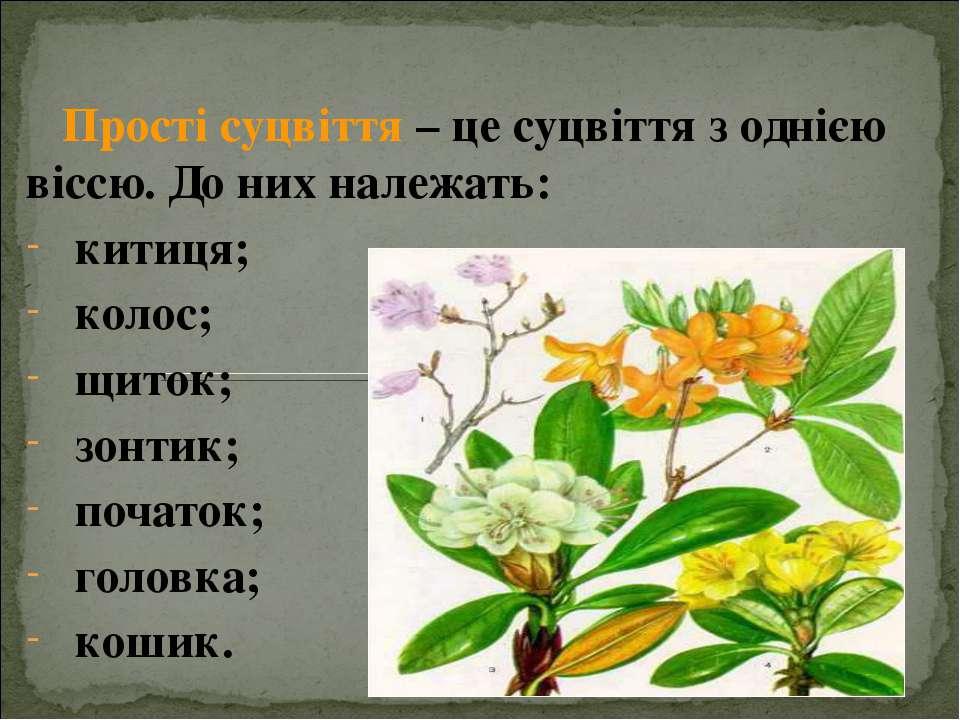 Прості суцвіття – це суцвіття з однією віссю. До них належать: китиця; колос;...