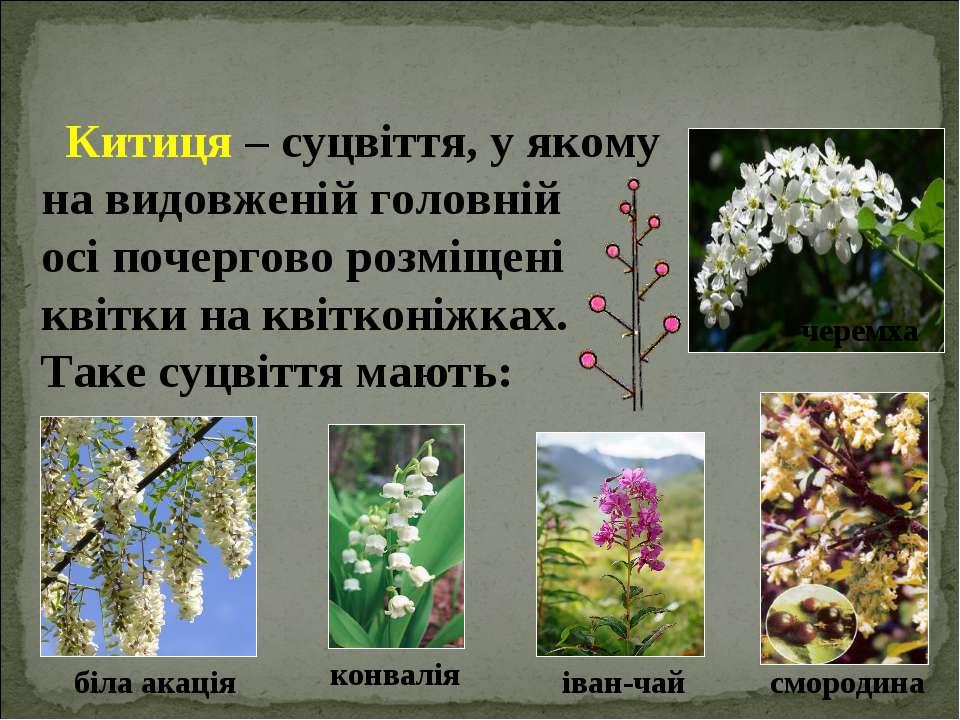 Китиця – суцвіття, у якому на видовженій головній осі почергово розміщені кві...
