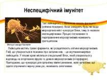 Лейкоцити містять травні ферменти, які розщеплюють клітини мікроорганізмів. Г...