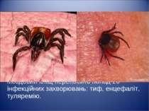 Іксодовий кліщ переносить понад 20 інфекційних захворювань: тиф, енцефаліт, т...