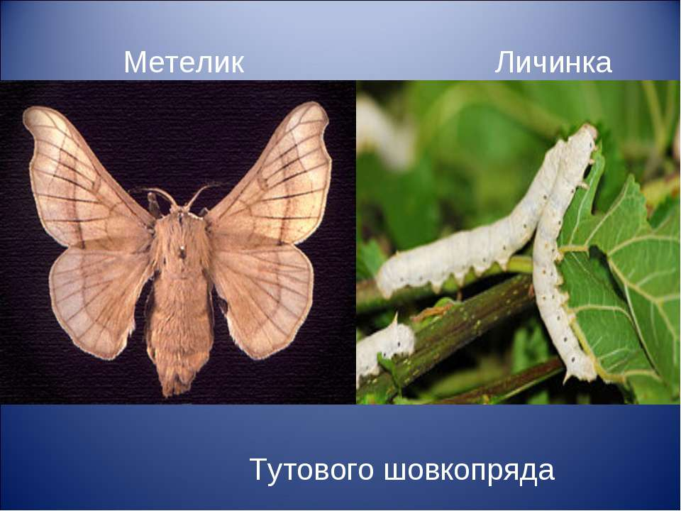 Метелик Личинка (гусінь) Тутового шовкопряда