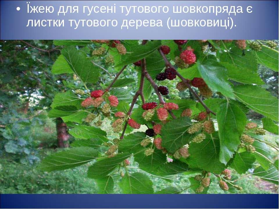 Їжею для гусені тутового шовкопряда є листки тутового дерева (шовковиці).