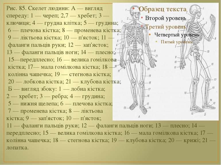 Рис. 85. Скелет людини: А — вигляд спереду: 1 — череп; 2,7 — хребет; 3 — ключ...