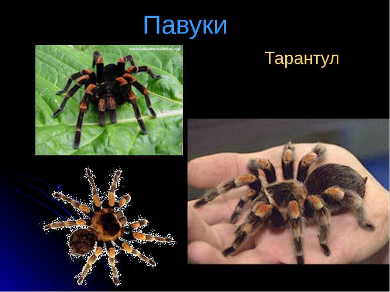 Павуки Тарантул