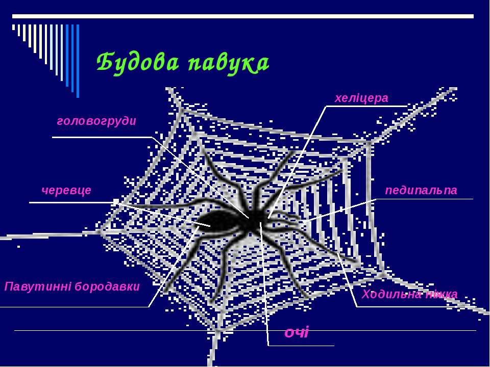 Будова павука педипальпа хеліцера Ходильна ніжка очі головогруди черевце Паву...
