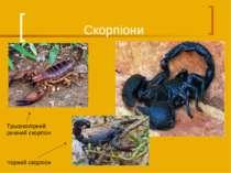 Скорпіони Трьохколірний риючий скорпіон Чорний скорпіон