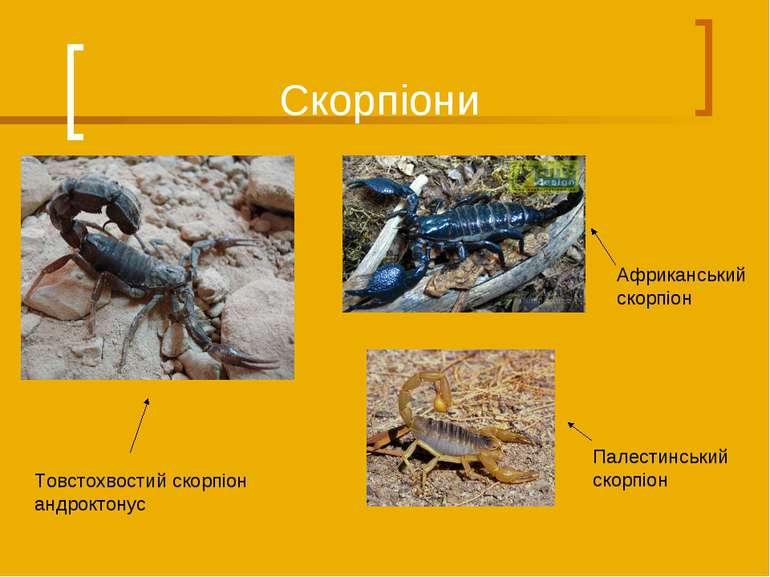 Скорпіони Палестинський скорпіон Товстохвостий скорпіон андроктонус Африкансь...