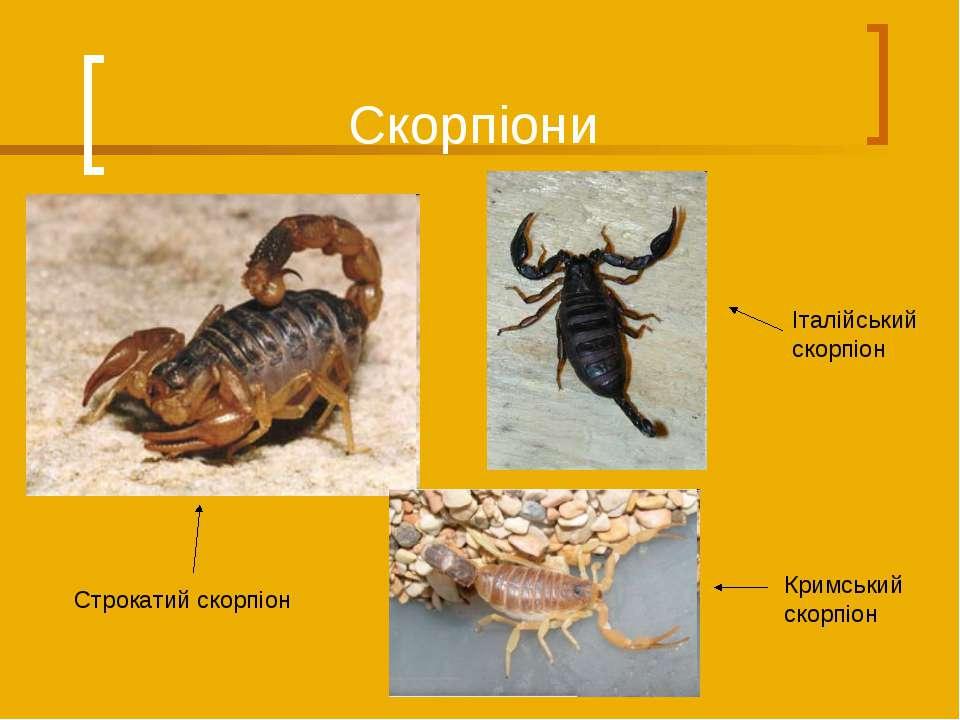 Скорпіони Кримський скорпіон Строкатий скорпіон Італійський скорпіон