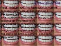 функції зубів Різці-переднізуби,які прорізуються у дітей першимиіслугую...