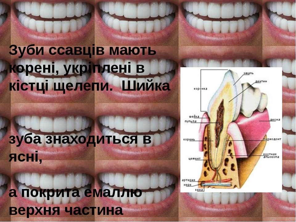 Зубиссавцівмають корені, укріплені в кістці щелепи. Шийка зуба знаходиться ...