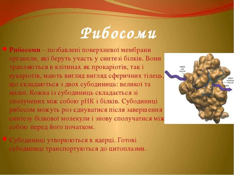 Рибосоми Рибосоми – позбавлені поверхневої мембрани органели, які беруть учас...