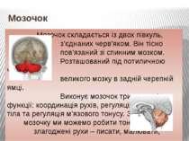 Мозочок Мозочок складається із двох півкуль, з'єднаних черв'яком. Він тісно п...