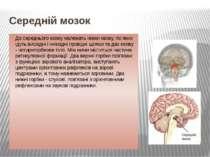 Середній мозок До середнього мозку належать ніжки мозку, по яких ідуть висхід...