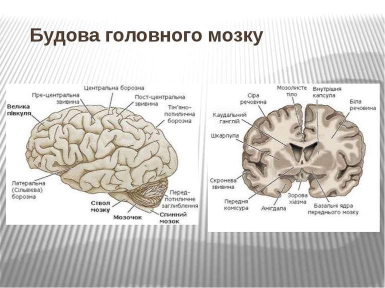 Будова головного мозку