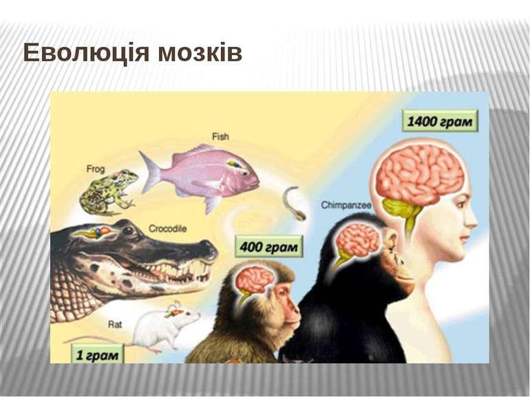 Еволюція мозків