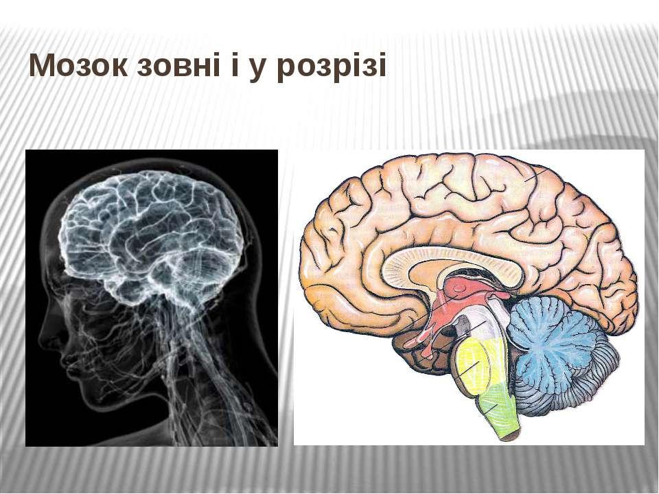 Мозок зовні і у розрізі
