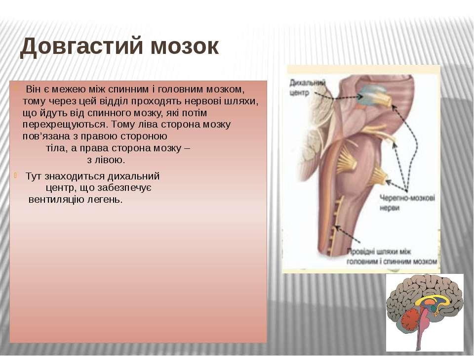Довгастий мозок Він є межею між спинним і головним мозком, тому через цей від...
