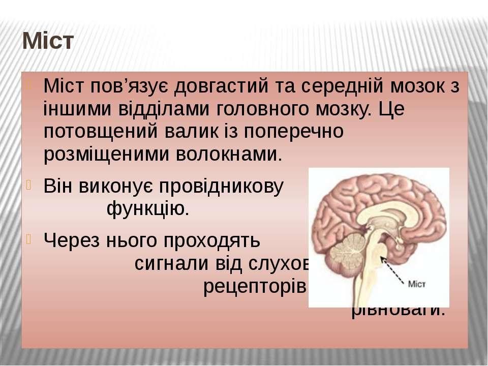 Міст Міст пов'язує довгастий та середній мозок з іншими відділами головного м...