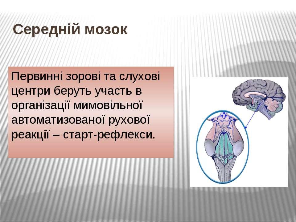 Середній мозок Первинні зорові та слухові центри беруть участь в організації ...