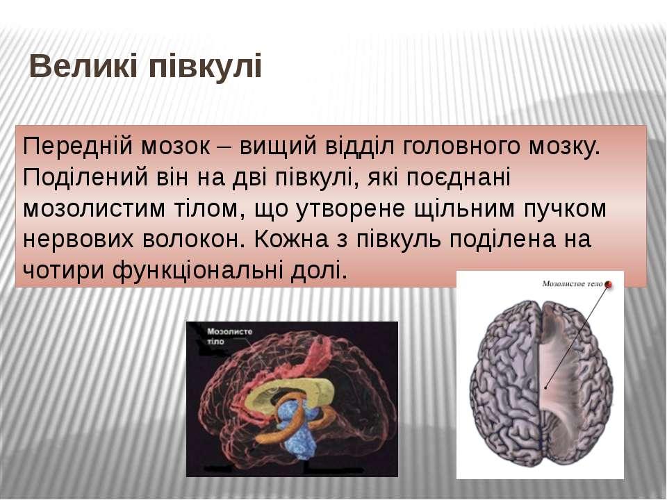 Великі півкулі Передній мозок – вищий відділ головного мозку. Поділений він н...