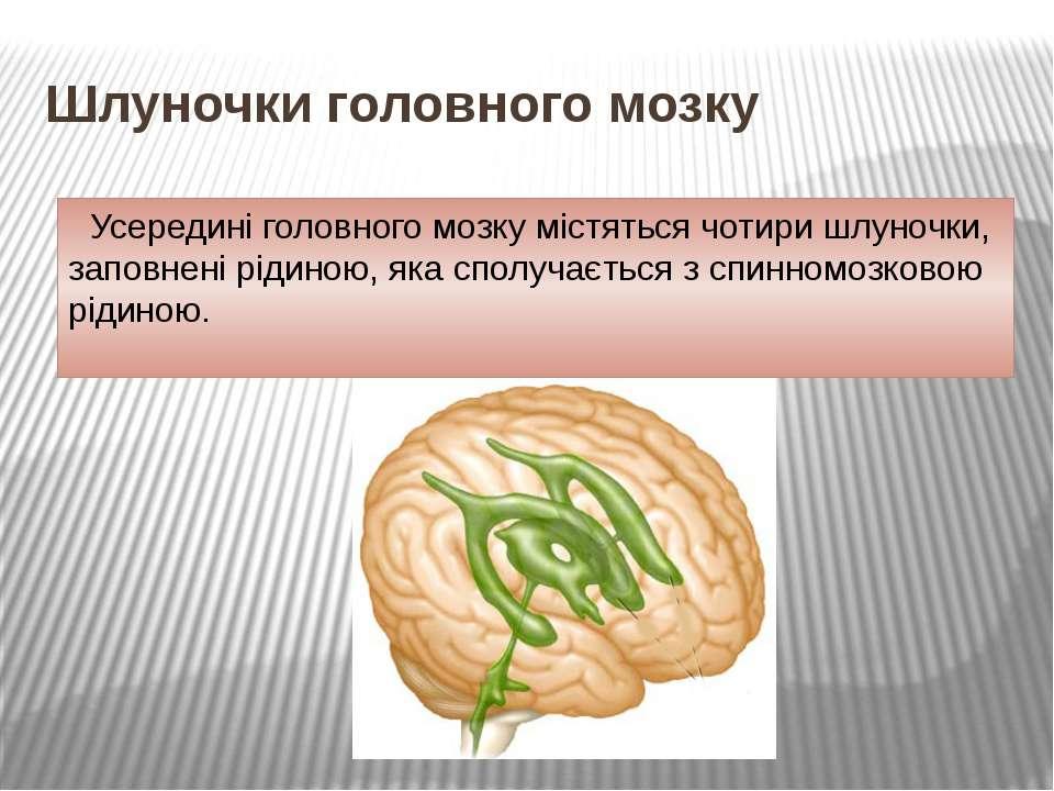 Шлуночки головного мозку Усередині головного мозку містяться чотири шлуночки,...