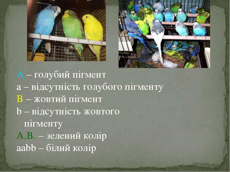 A – голубий пігмент а – відсутність голубого пігменту B – жовтий пігмент b – ...