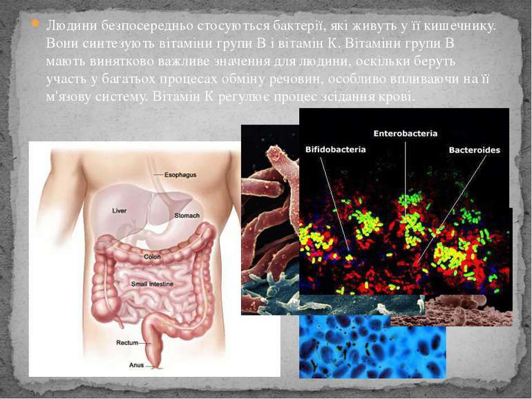 Людини безпосередньо стосуються бактерії, які живуть у її кишечнику. Вони син...