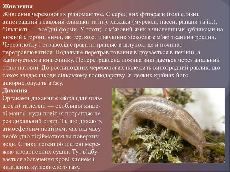Живлення Живлення черевоногих різноманітне. Є серед них фітофаги (голі слизні...