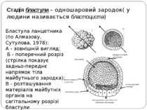 Стадія бластули – одношаровий зародок( у людини називається бластоциста) Блас...