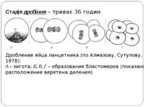 Стадія дробіння – триває 36 годин Дробление яйца ланцетника (по Алмазову, Сут...