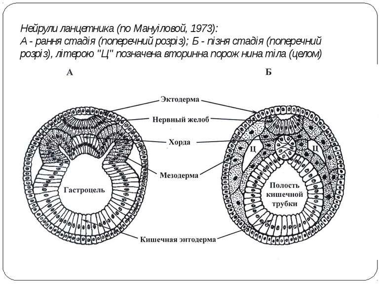 Нейрули ланцетника (по Мануіловой, 1973): А - рання стадія (поперечний розріз...