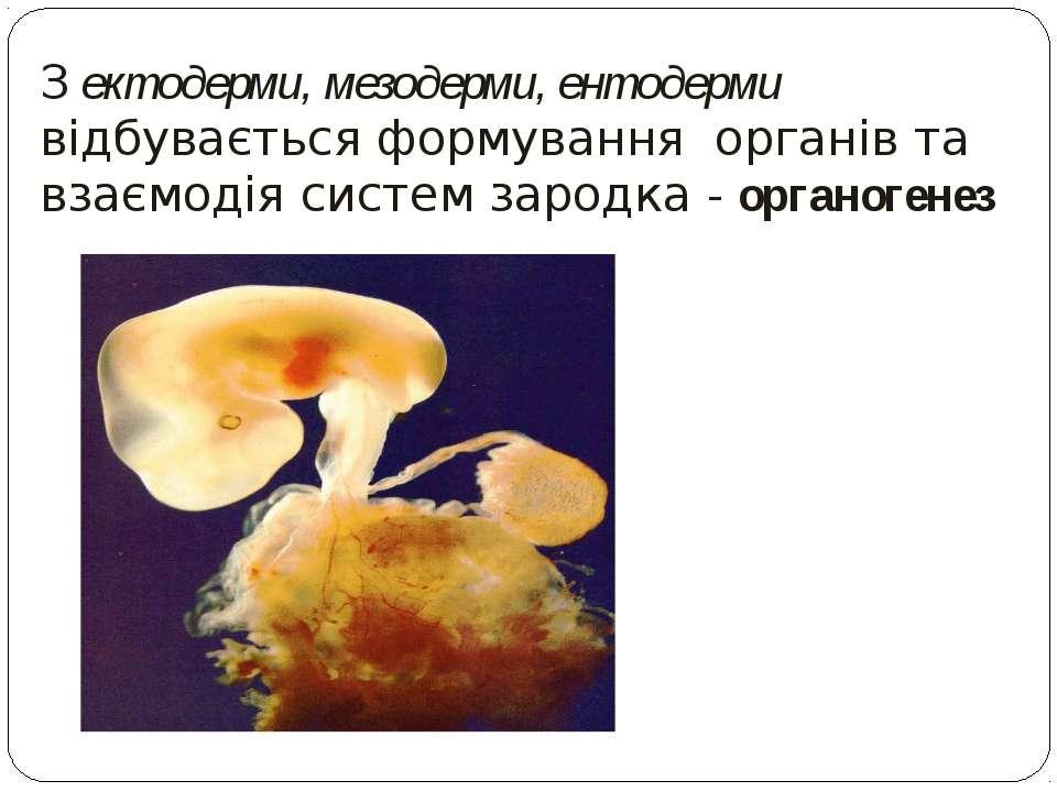 З ектодерми, мезодерми, ентодерми відбувається формування органів та взаємоді...